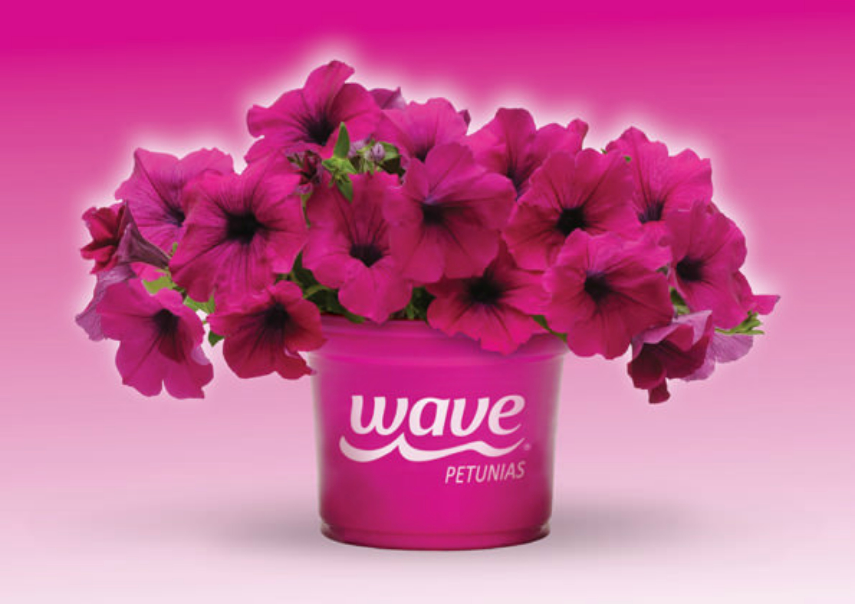 How to garden in balcony baskets - Wave petunias in containers ...